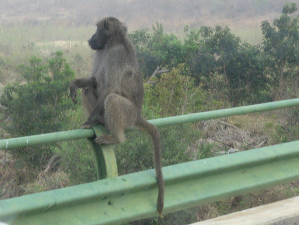 Babouin dans le parc Kruger