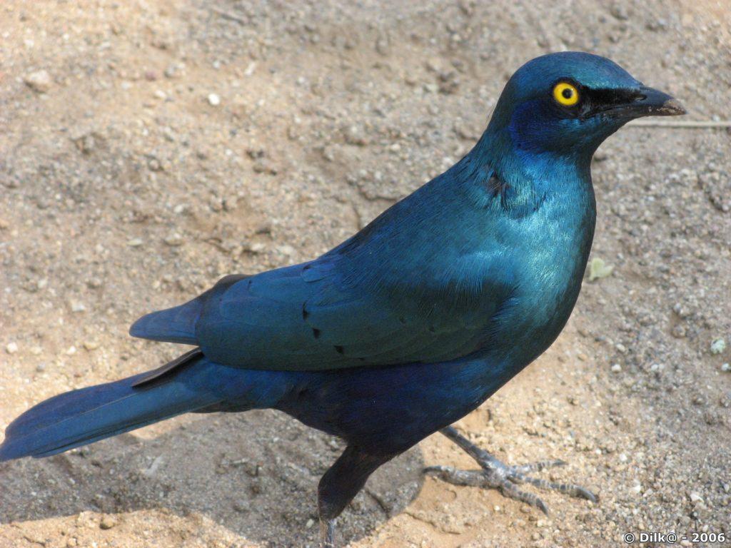 Oiseau bleu voleur de pique-nique