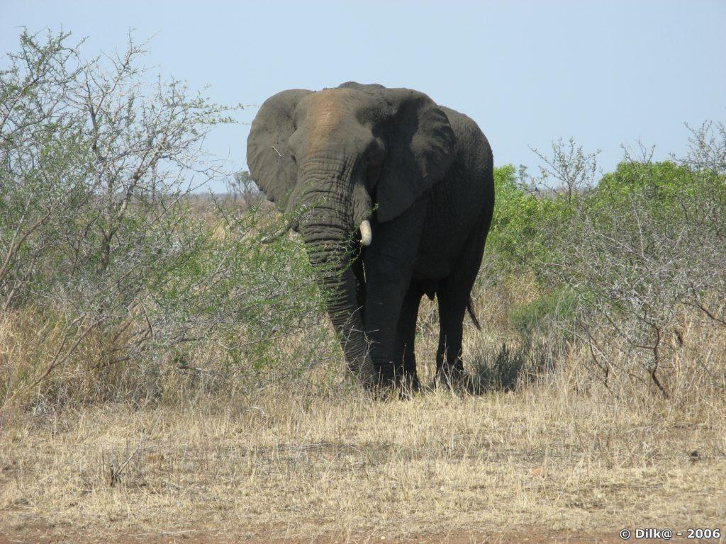 L'éléphant dans la Parc Kruger