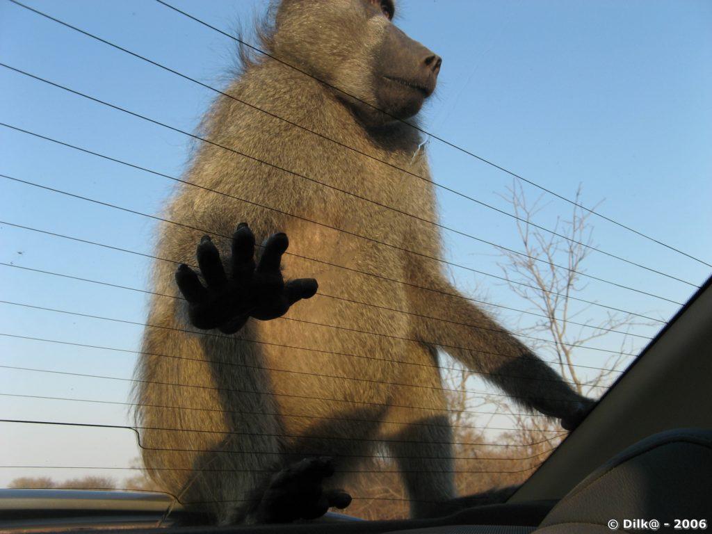 Le babouin sur la voiture