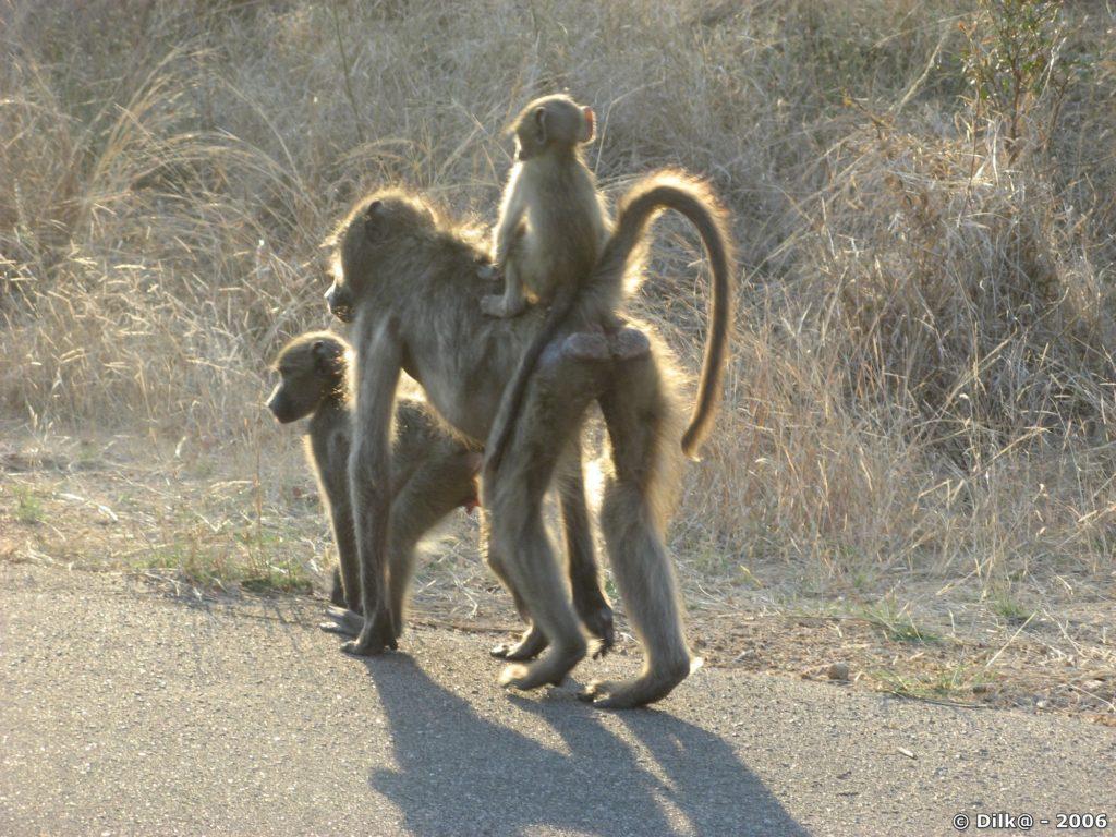 Famille de babouins en balade