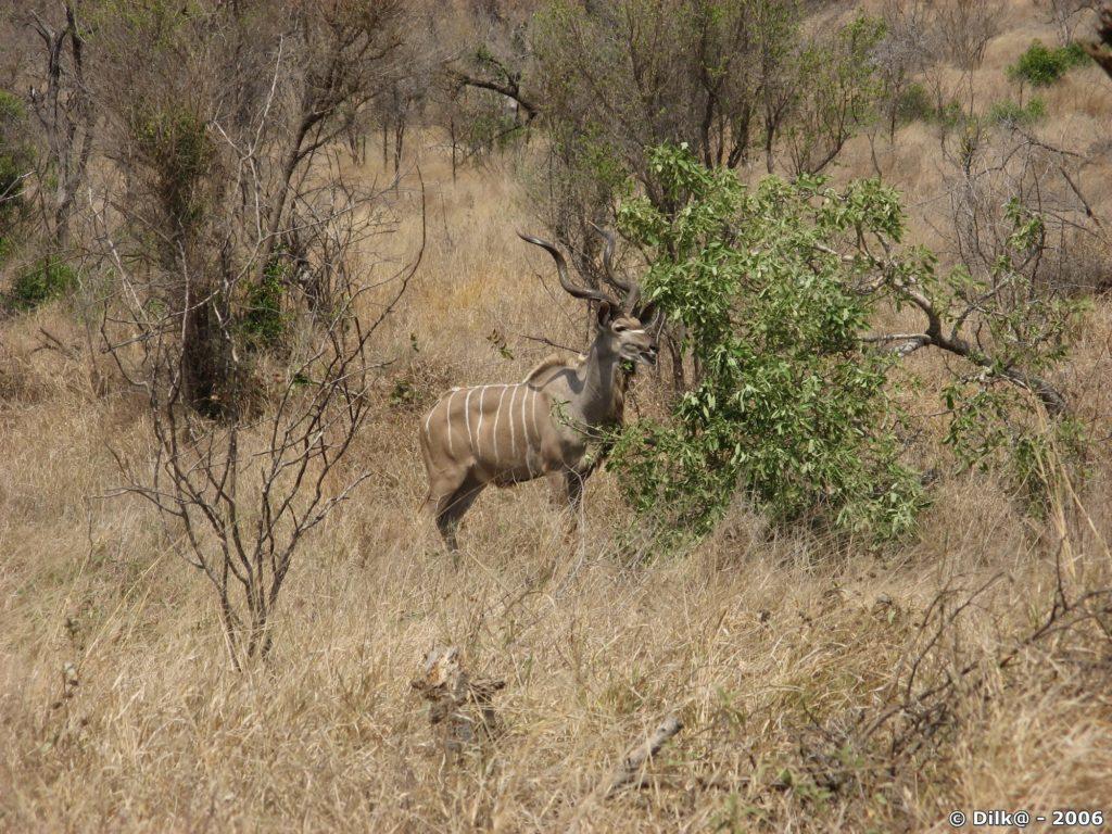 Kudu dans le Parc Kruger