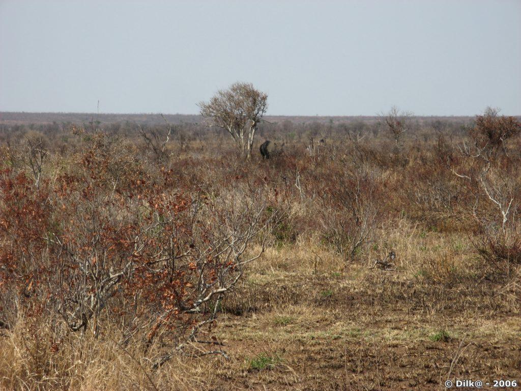 un rhinocéros sous un arbre desséché