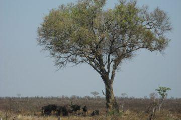 Zébus dans le Parc Kruger