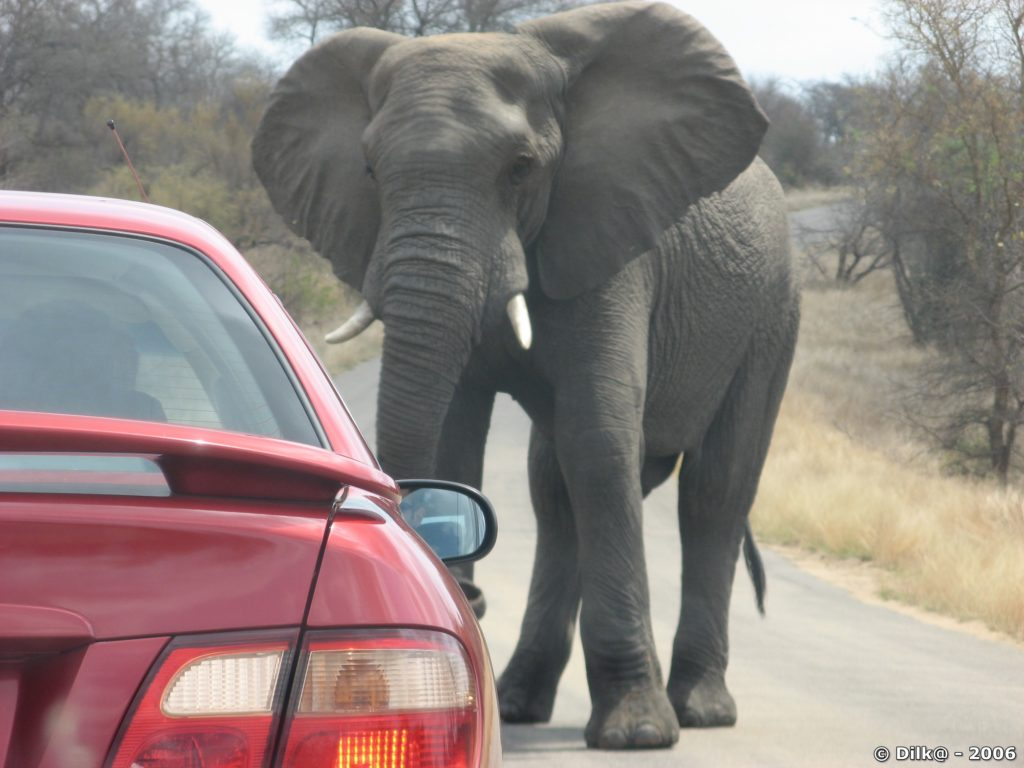 éléphant contre voiture