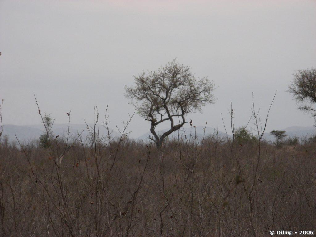 Léopard couchée sur une branche