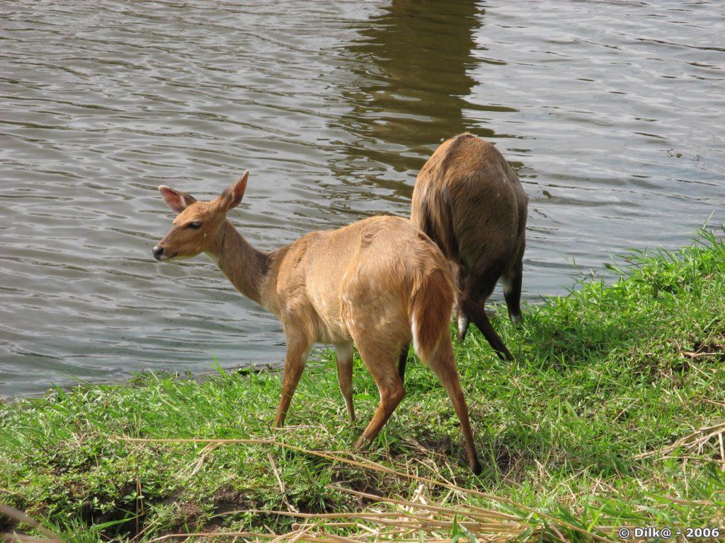 Bushbock