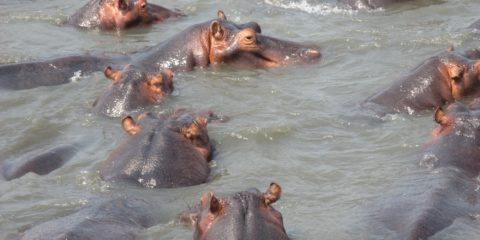 Hypopotames sur Santa Lucia