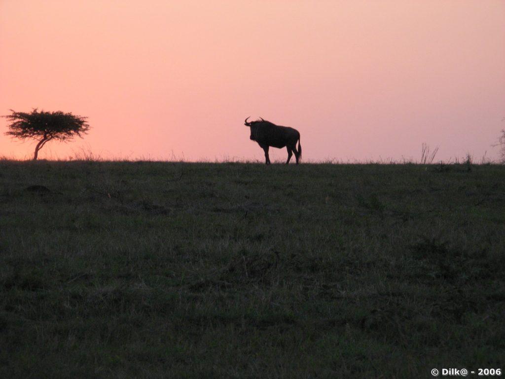 Buffle dans les lumières du soir de la savane