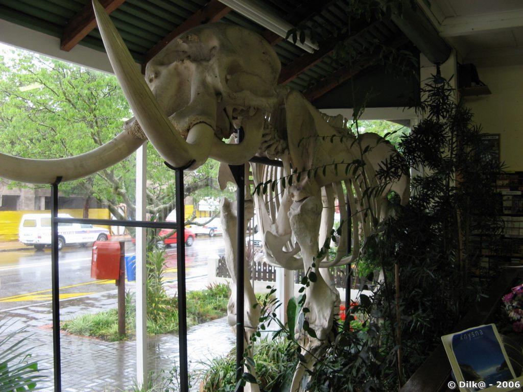 Squelette d'éléphant est exposé en vitrine de l'office du tourisme