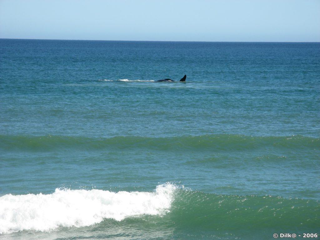 Hermanus est très fréquenté des baleines