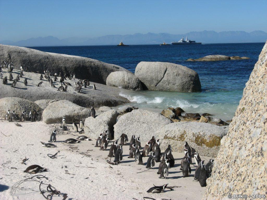 Les pingouins du Cap (Boulders) à Simon's Town