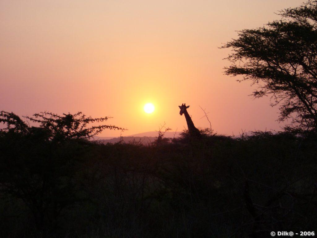 Girafe dans les lumières du soir