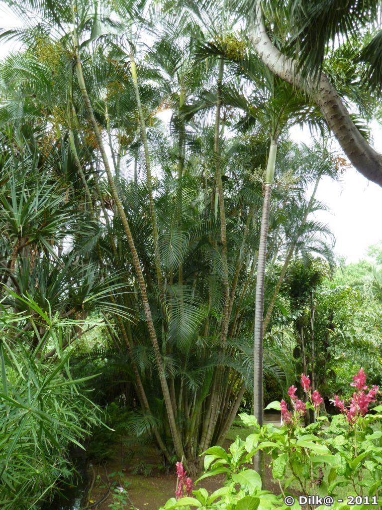palmier multipliant