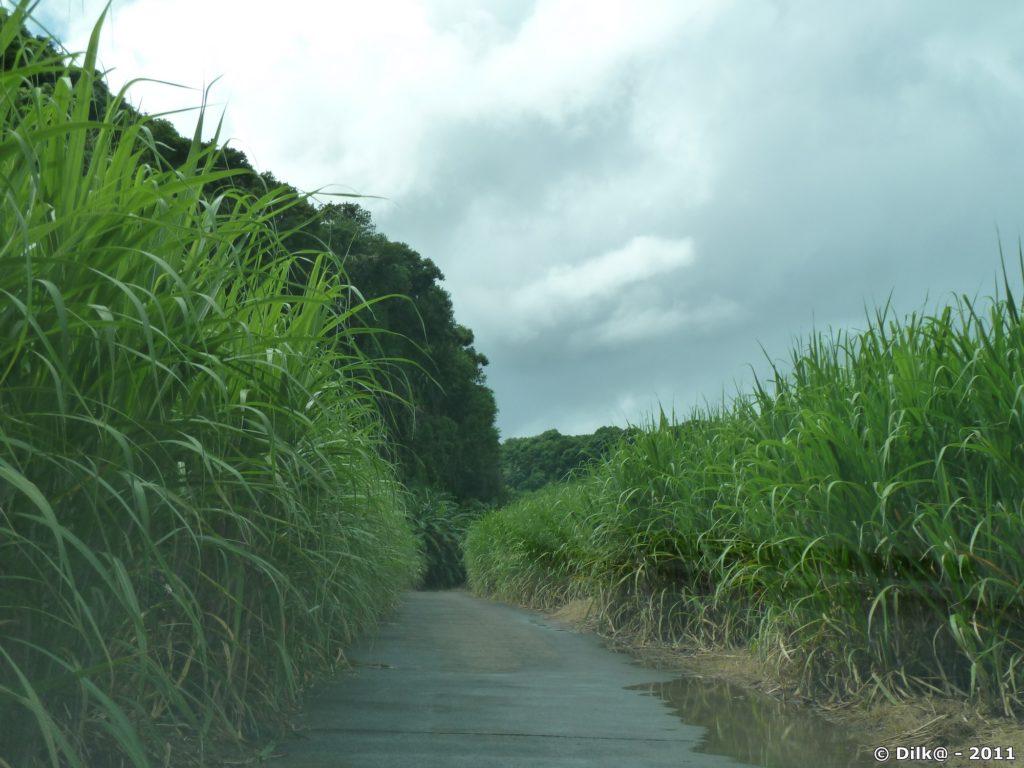 piste bétonnée au milieu des champs de canne à sucre