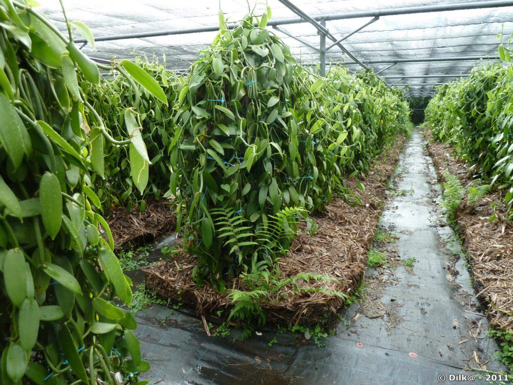 plantations de vanille