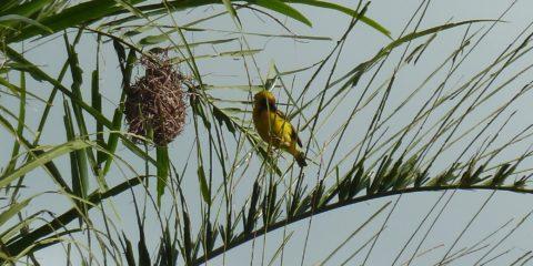 les oiseaux jaunes, les béliers, et leur nid en boule