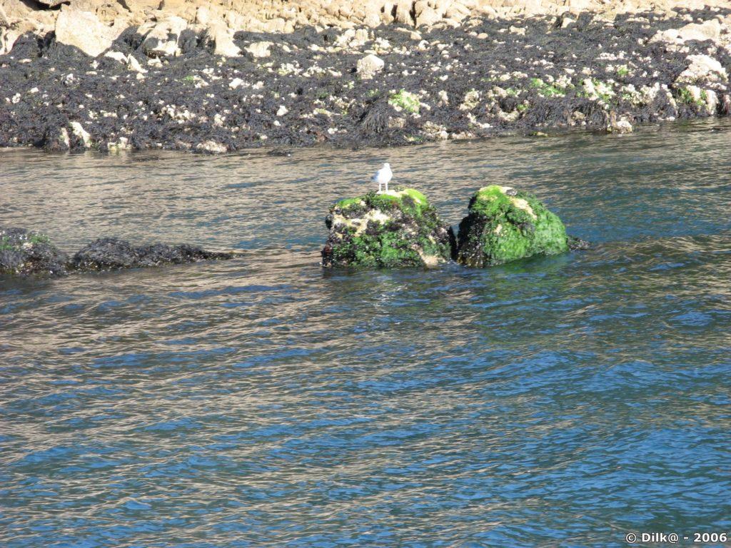 Goéland dans le golfe du Morbihan