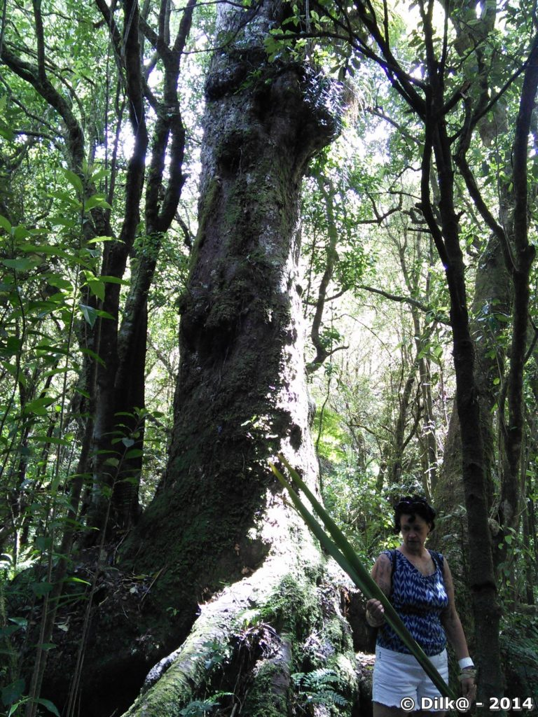 Notre guide maori devant un arbre remarquable
