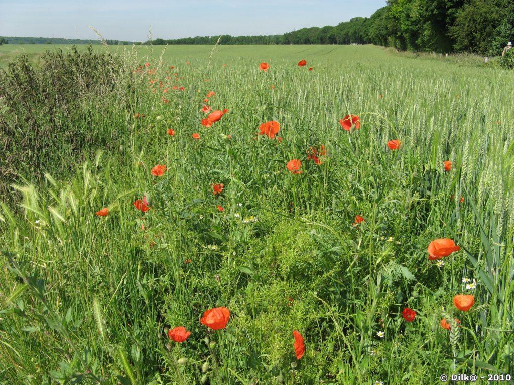 Coquelicots au bord du champ de blé