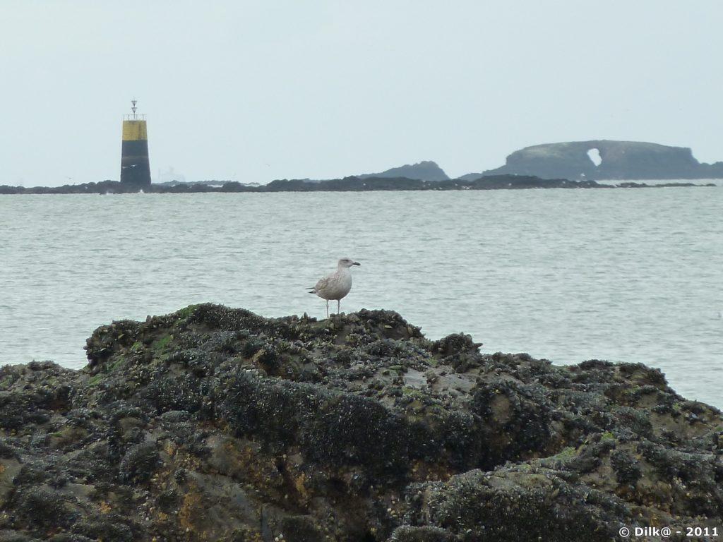 Le goéland profite de la marée basse pour se poser sur un rocher découvert