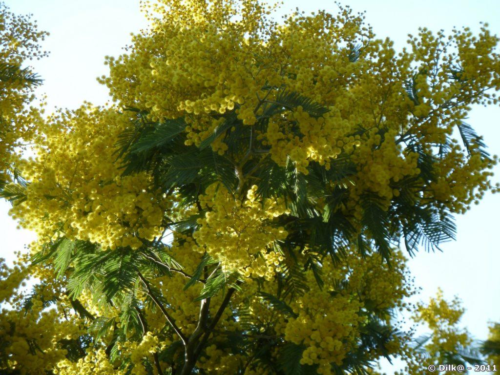 Les mimosas en fleurs