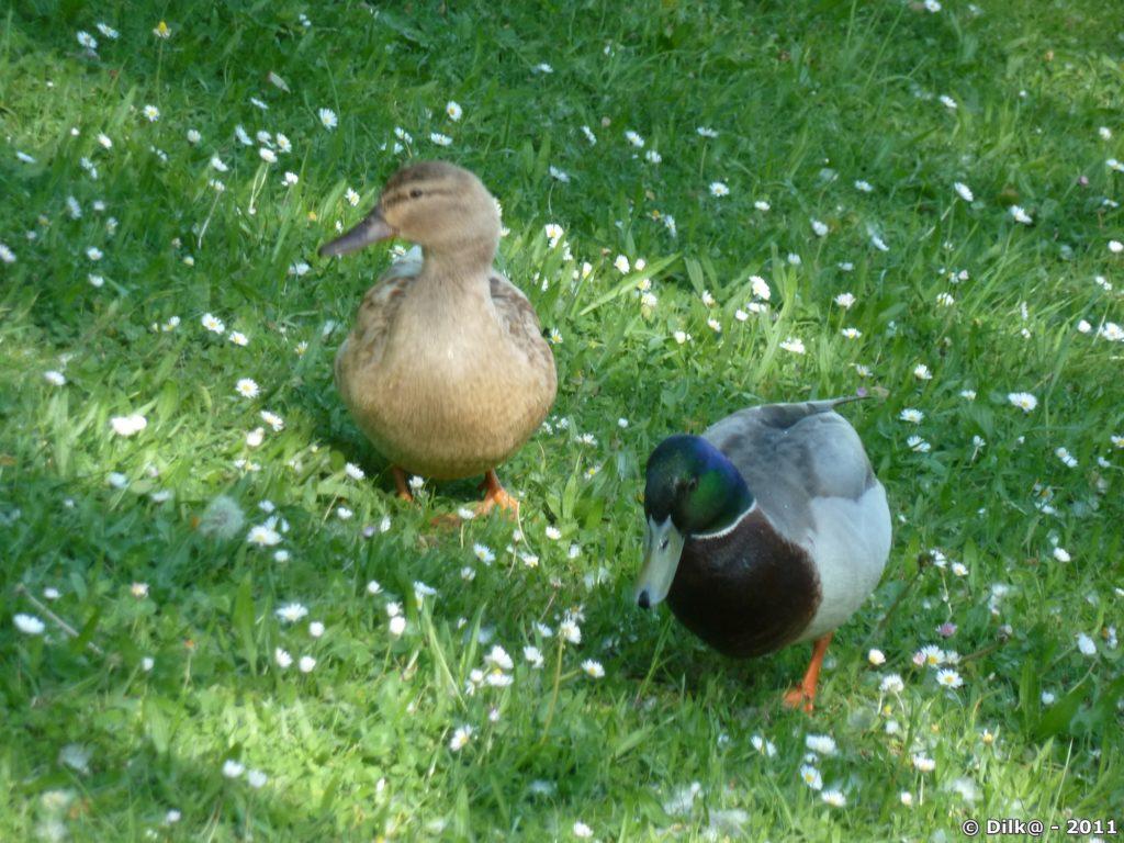 Un couple de canards en promenade
