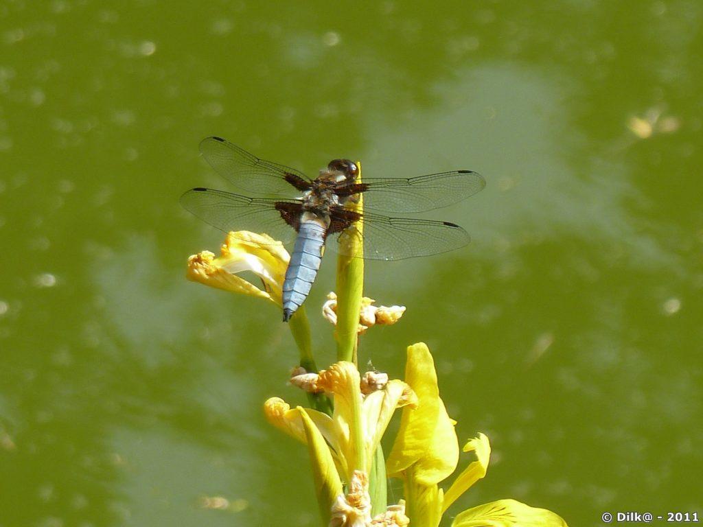 la libellule posée sur des iris d'eau