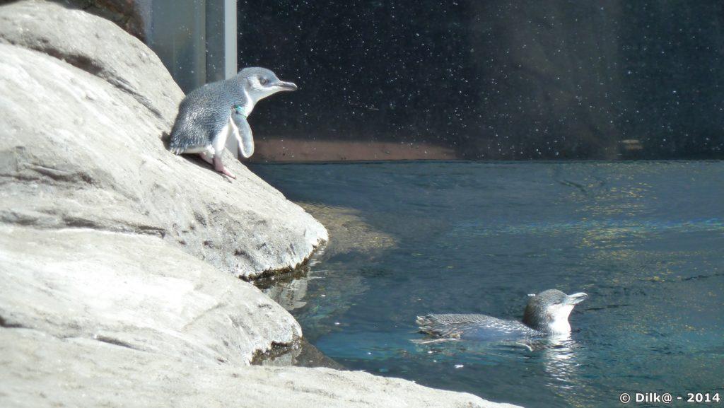 Les pingouins bleus de Nouvelle Zélande