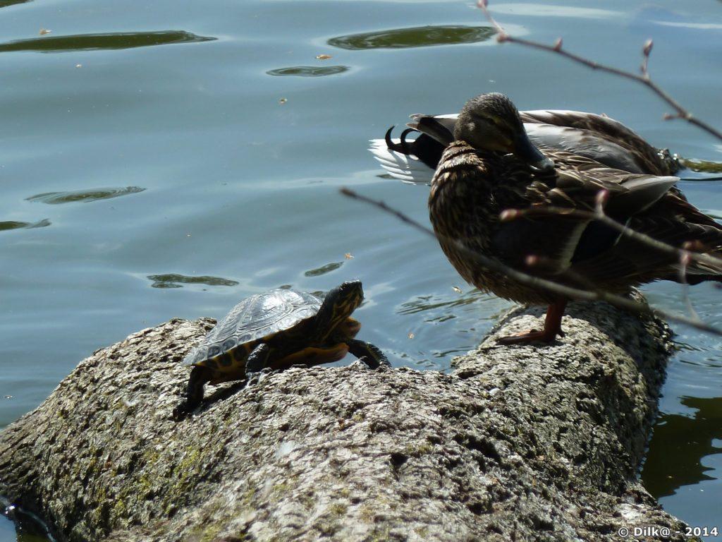 La tortue et le canard