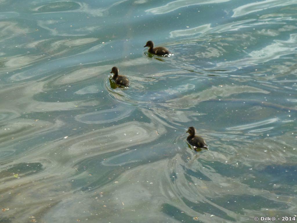 Allez les petits canards !