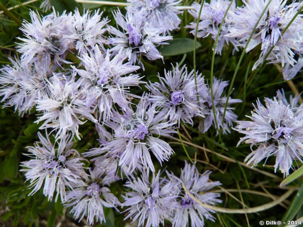 Fleur de Vanoise