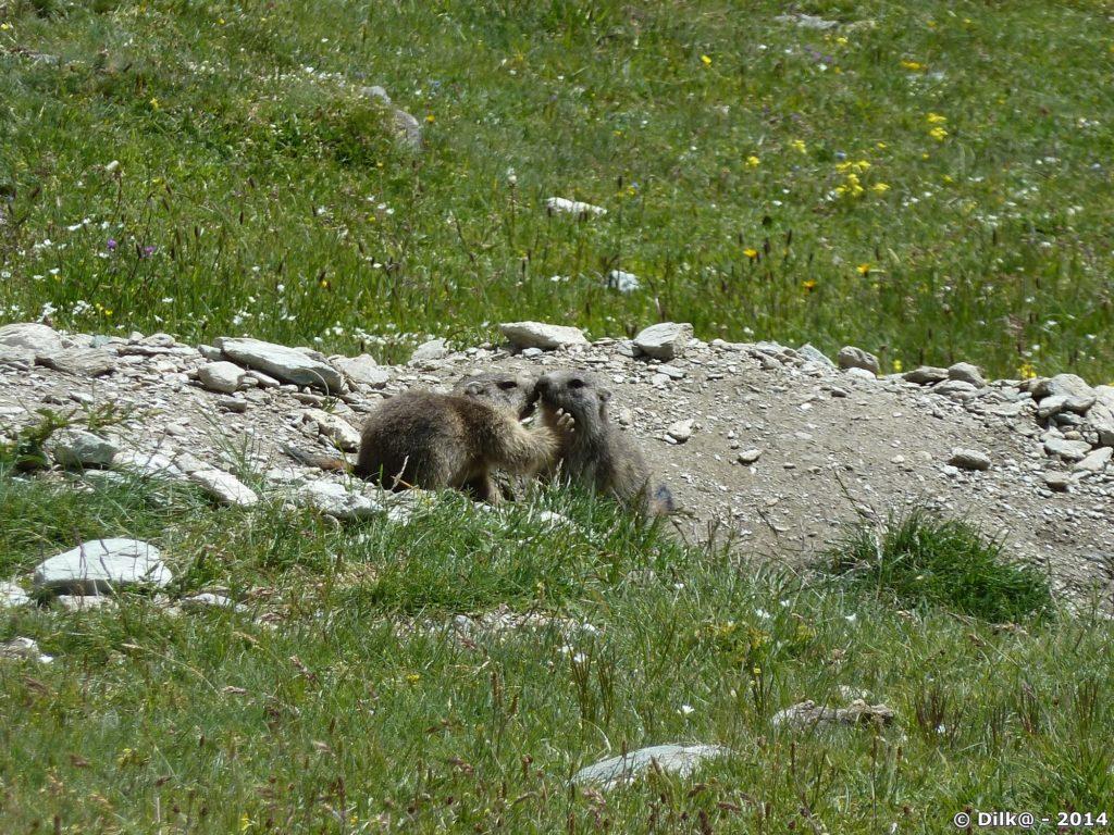 Jeunes marmottes en plein jeu