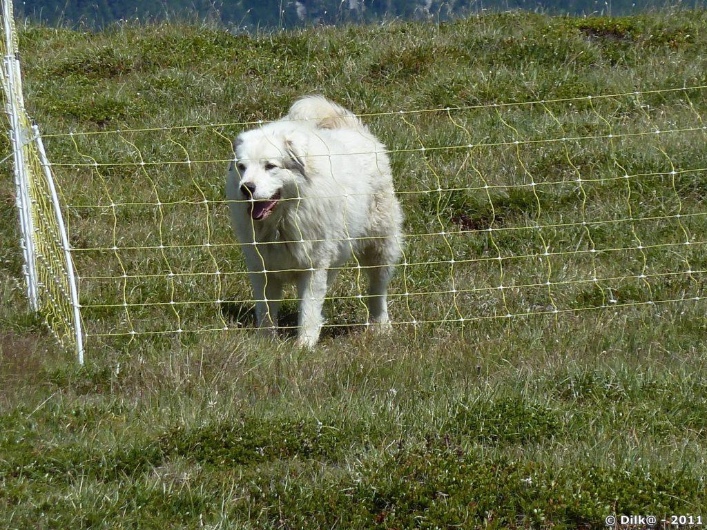 Le patou, chien qui garde le troupeau de mouton