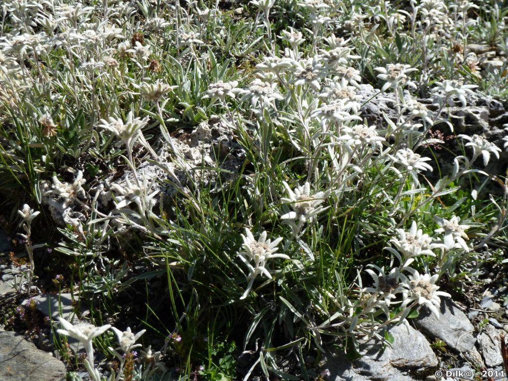 Un bouquet d'edelweiss