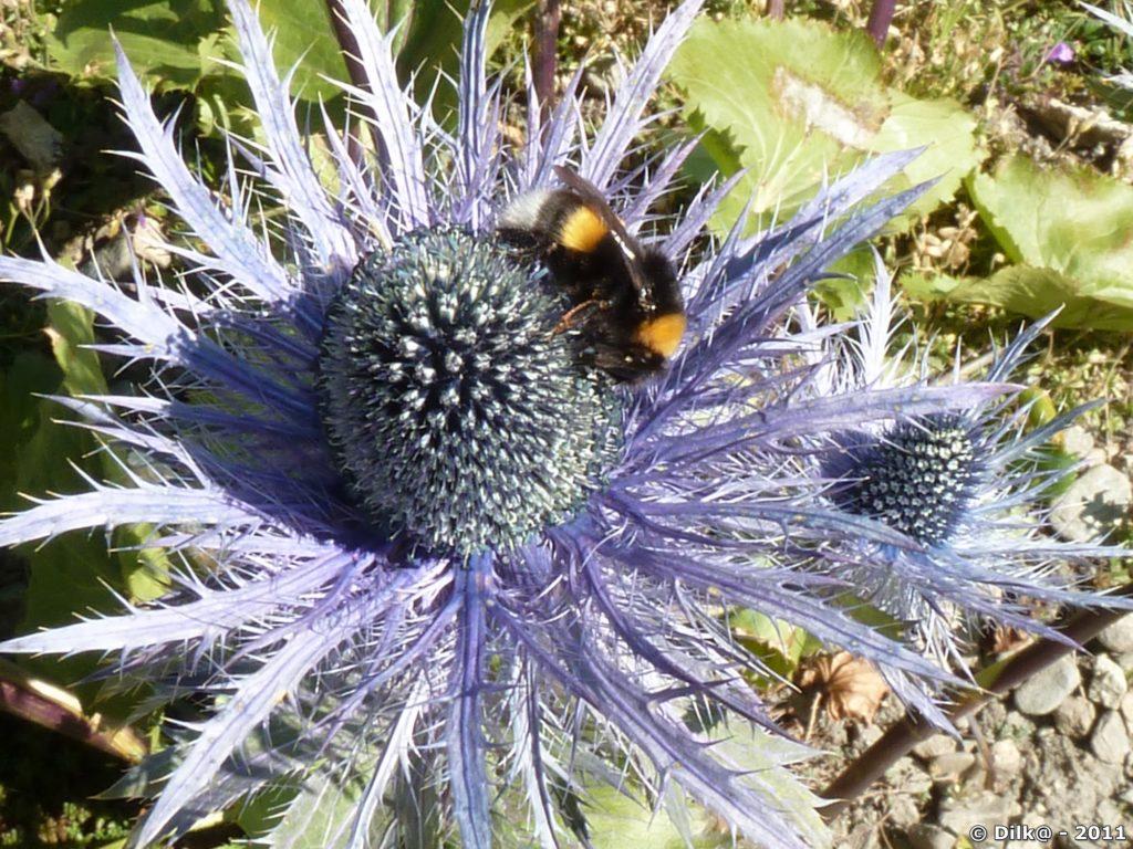 Le chardon bleu est une fleur rare