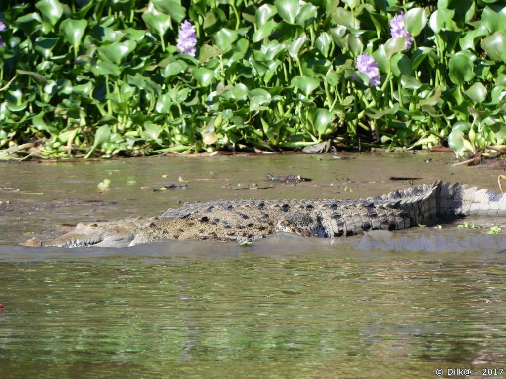 crocodile se dorant au soleil