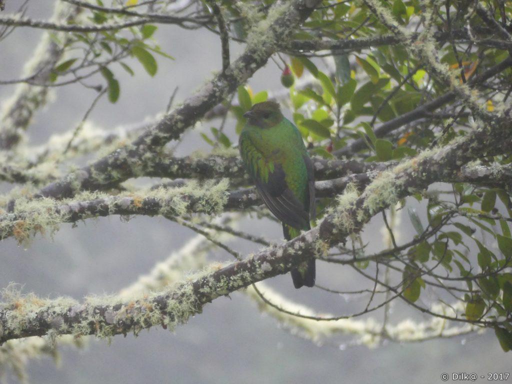quetzal femelle