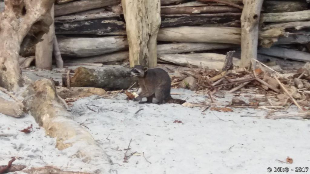 raton laveur sur la plage
