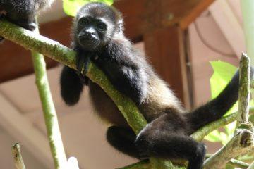 Jeune singe hurleur