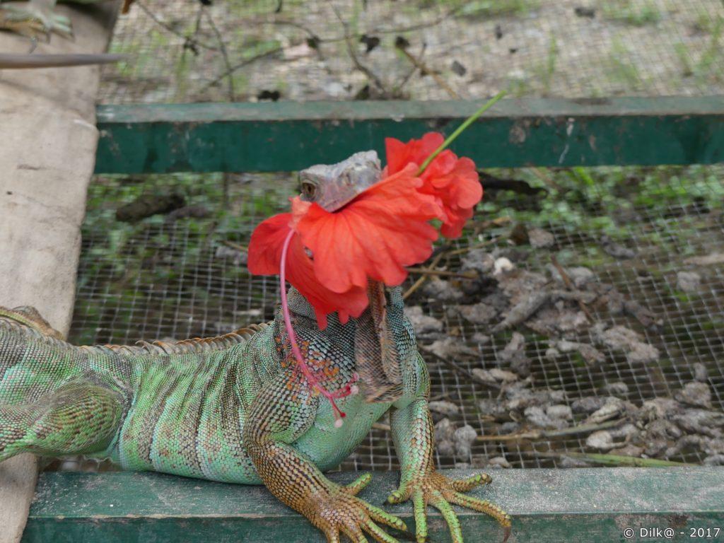 iguane dévorant hibiscus