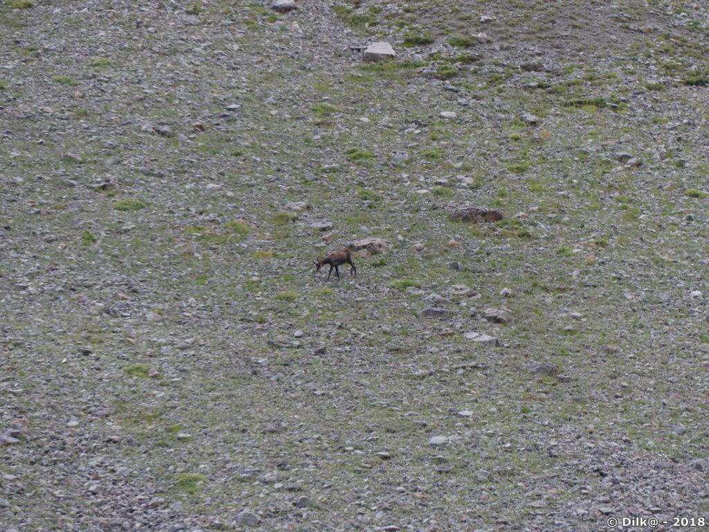 Les chamois sont nombreux dans la moraine du glacier