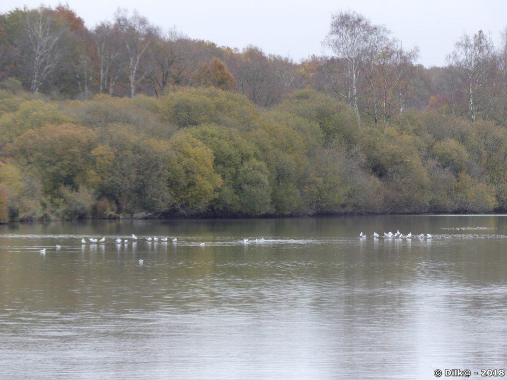 Beaucoup d'oiseaux nichent sur les étangs de Hollande