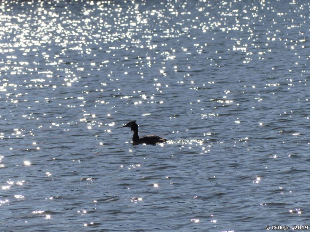 Grèbe huppée sur les étangs des Noës