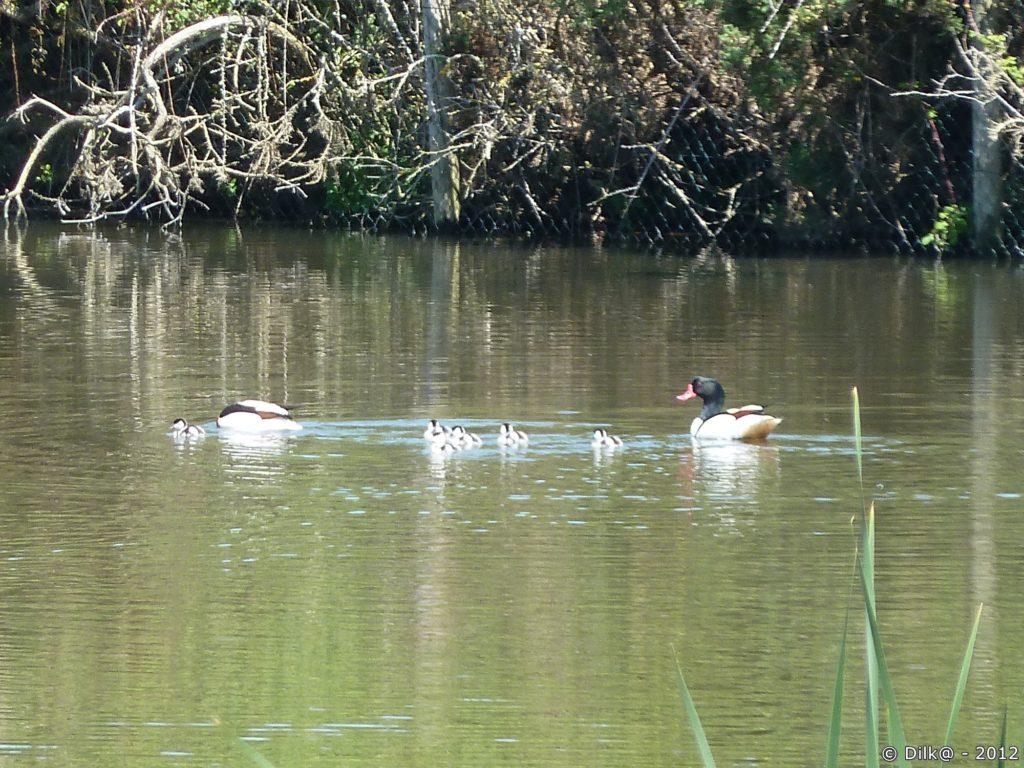 Famille de tadornes en balade sur un étang.