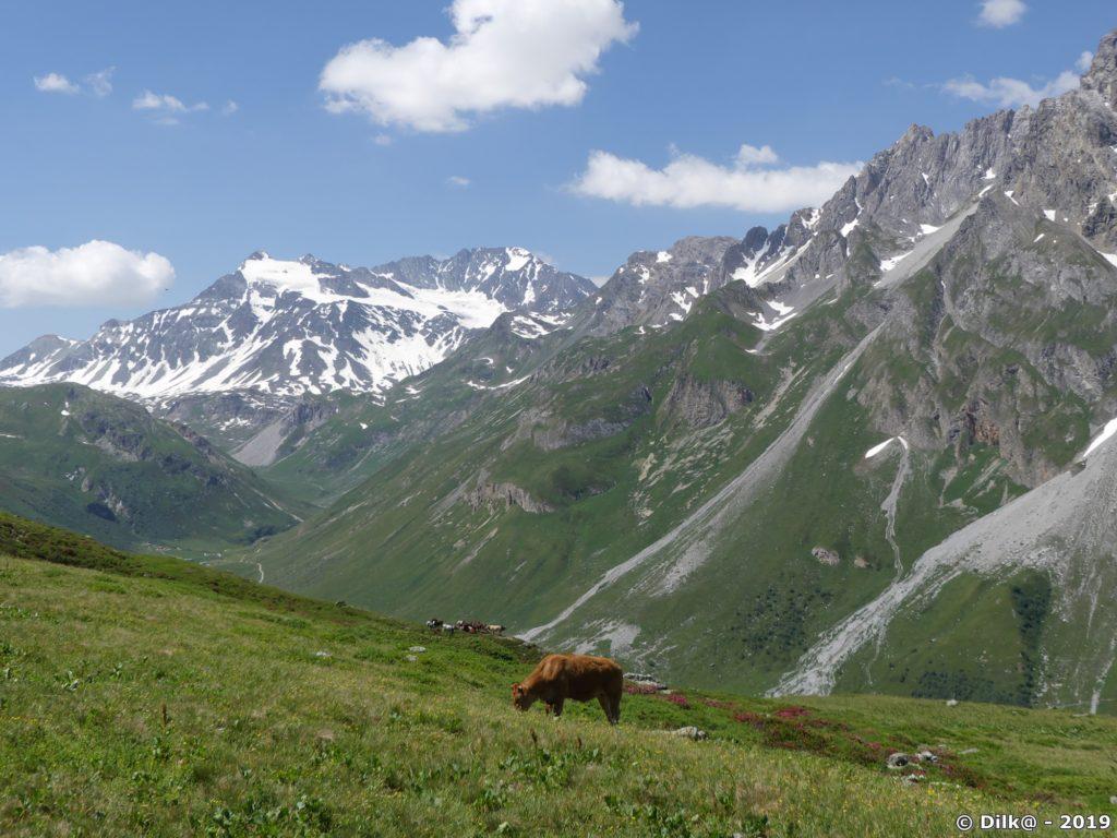 Troupeaux de vaches dans les alpages et eu fond, le glacier de Peclet-Polset