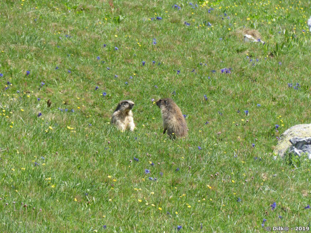 Jeunes marmottes qui jouent