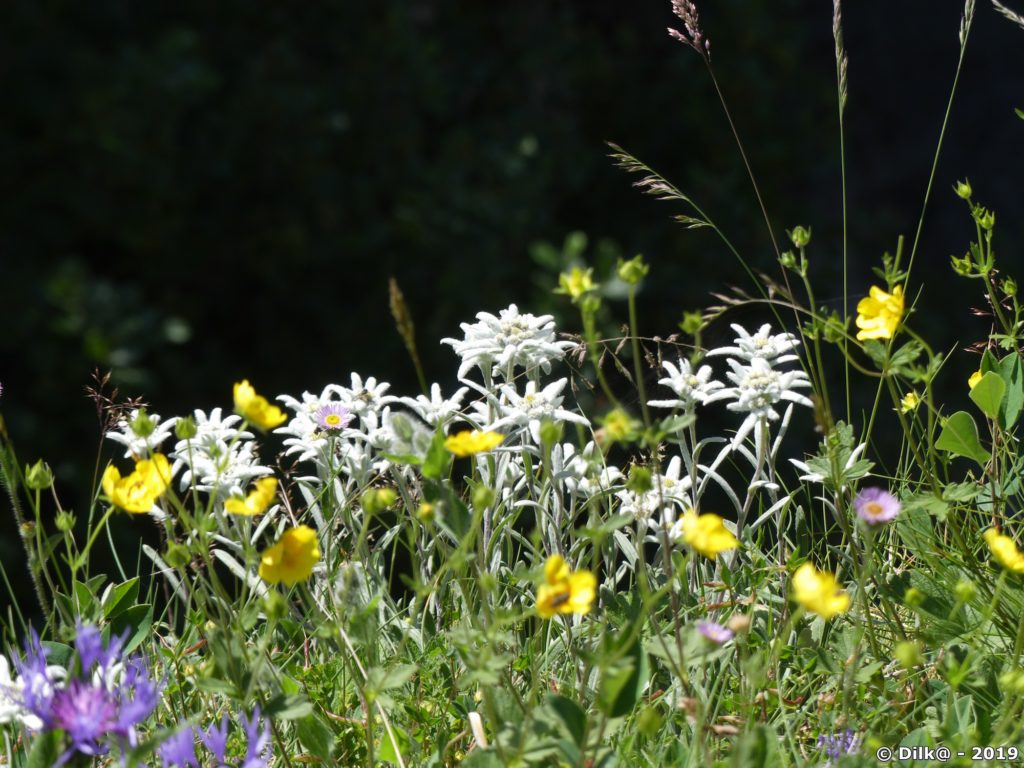 L'Edelweiss, une célèbre fleur de montagne, mais si rare