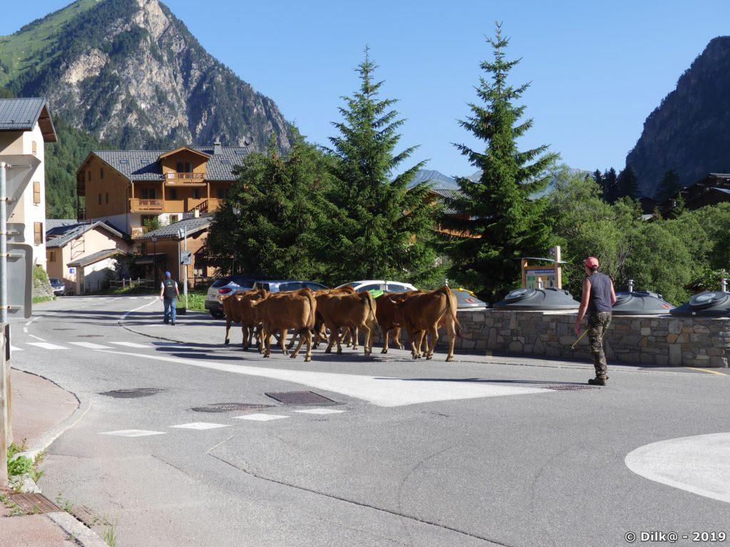 Un troupeau de vaches traverse le village de Pralognan