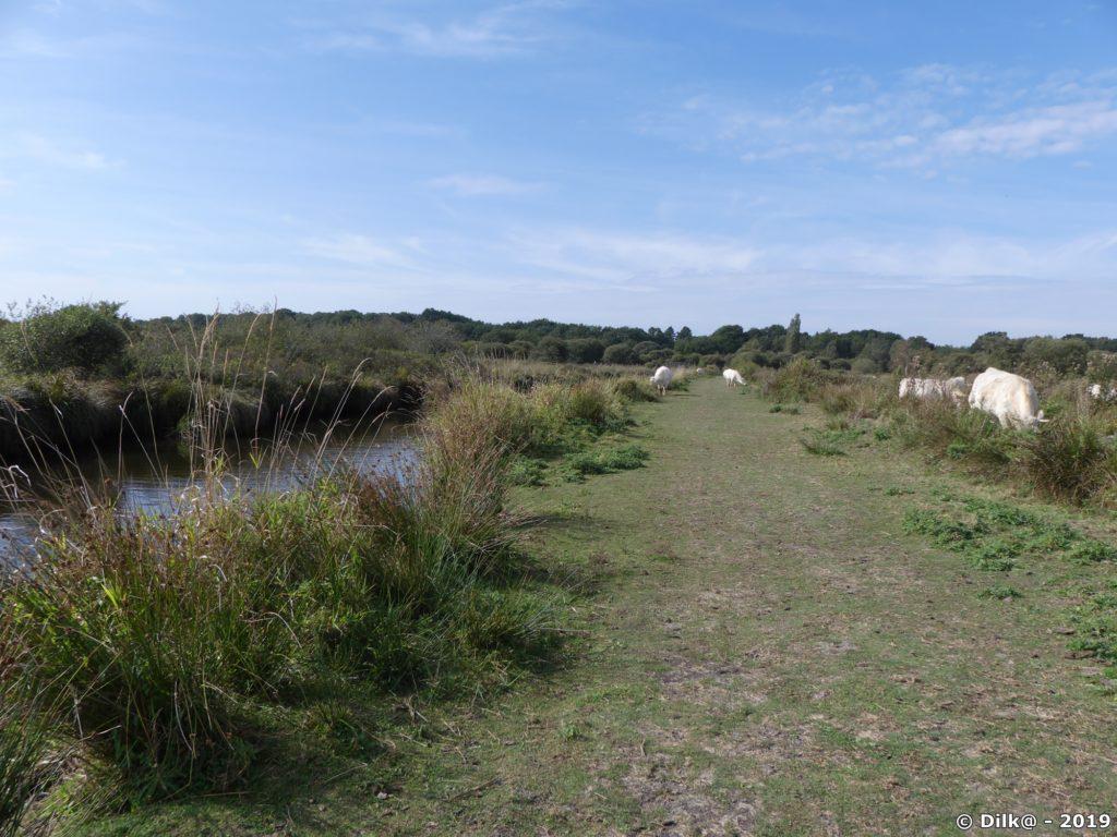 Le sentier longe un canal et passe au milieu d'un troupeau de vaches